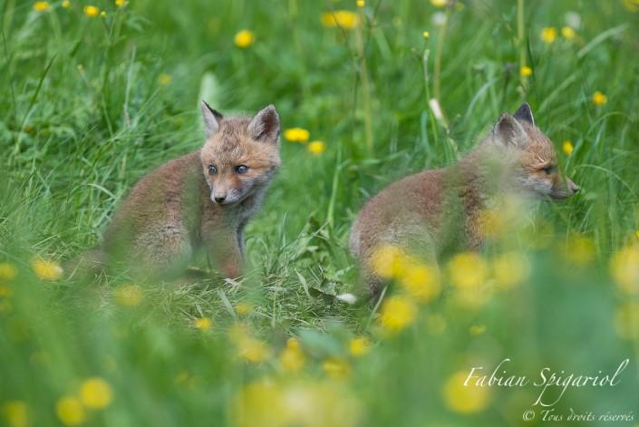 Face de frère - De face et de profil, ces deux jeunes renardeaux profitent de la douceur du soleil à proximité de leur terrier.