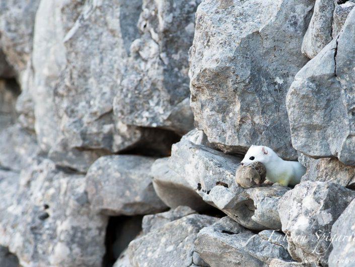 Hermine blanche et sa proie - Une hermine en robe d'hiver surprise dans un mur de pierres jurassien avec un campagnol dans la gueule.