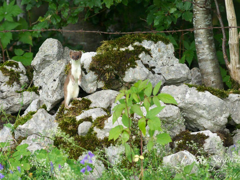 L'hermine se ballade sur un ancien mur de pierres sèches à l'abandon dans une forêt du Val-de-Travers.