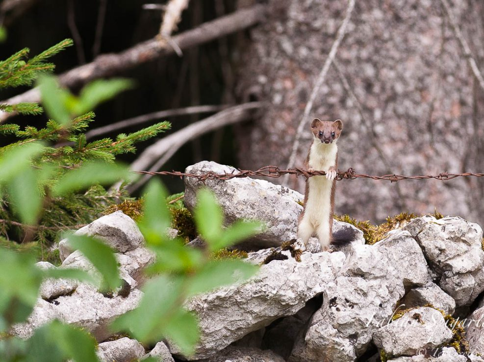Pour se mettre en chandelle, cette hermine en robe d'été s'appuie sur un fil barbelé jonchant le sommet d'un mur de pierres sèches du Val-de-Travers (Jura suisse).