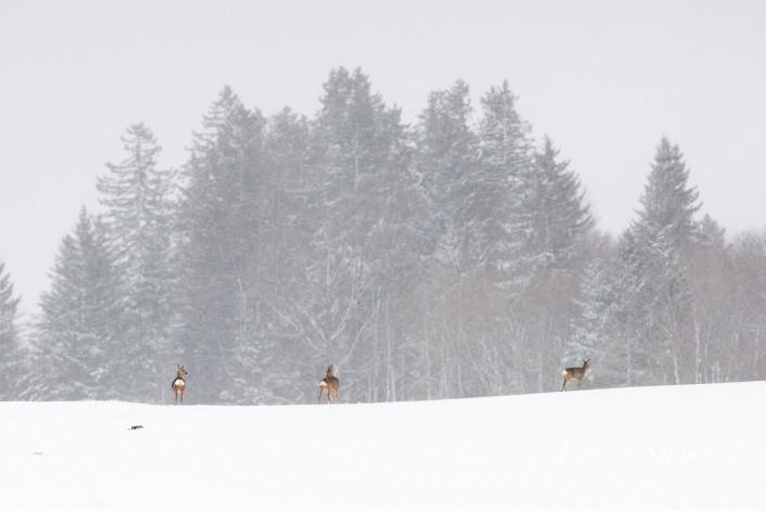 Scène d'hiver - Famille de chevreuil sous une giboulée de neige sur les hauteurs du Val-de-Travers.