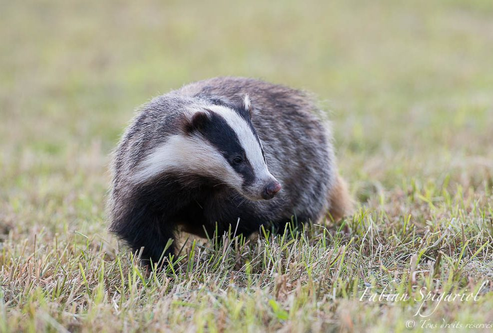 Profil zébré - Concentré dans sa chasse, ce blaireau du Val-de-Travers ne remarque pas le photographe allongé non loin de là...