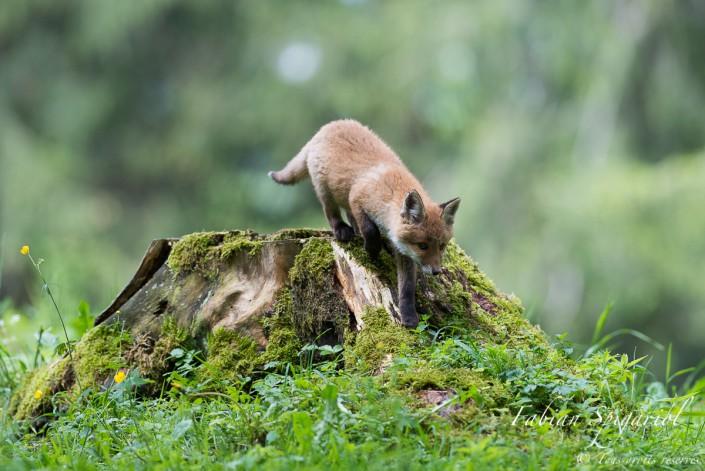 Renardeau de cirque - Quand le jeune renard se prend pour un acrobate sur une souche près de son terrier.