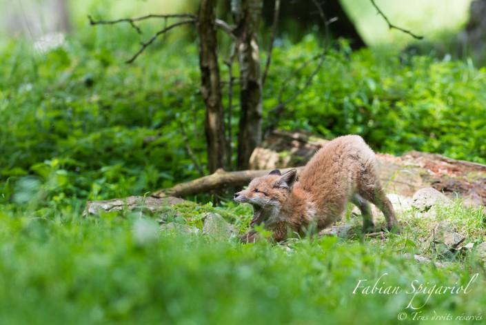 Etirements matinaux - Séance d'étirements à la sortie du terrier pour ce jeune renardeau.