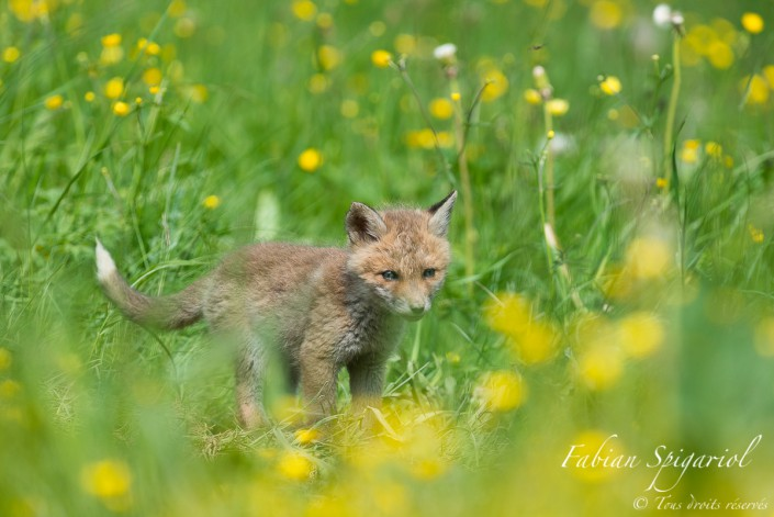 Peluche des champs - jeune renard en balade dans un champ fleuri du val de travers.