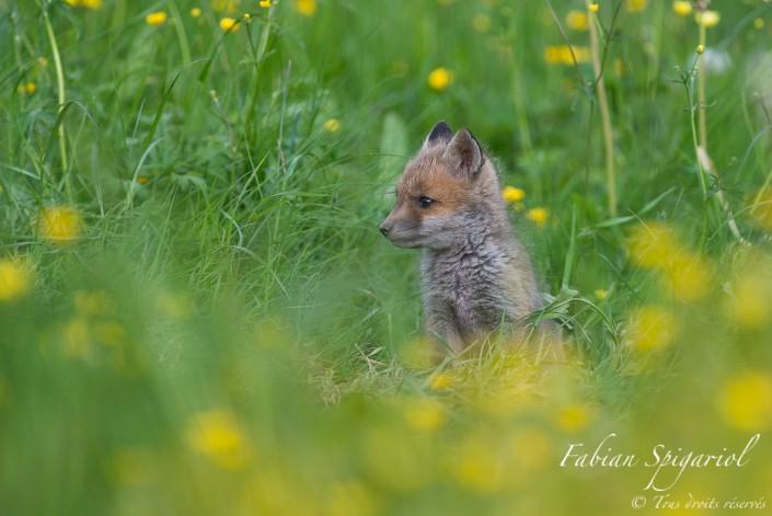 Petit miston des champs - Le museau s'allonge et l'envie de voir le monde augmente de jour en jour; pas de doutes, ce petit goupil est en train de devenir un fier renard.