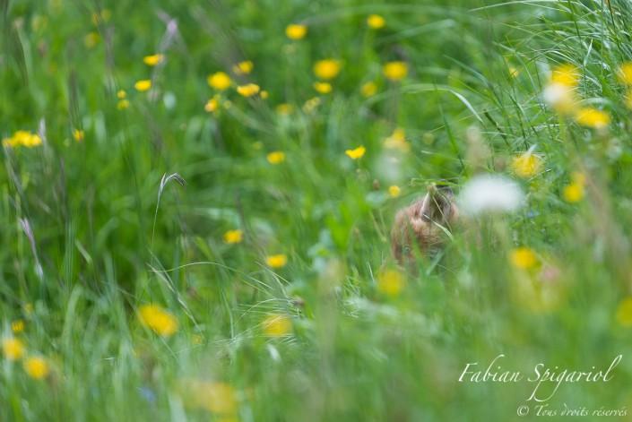 Regard bleu sur la planète verte - Sorti il y a quelques jours à peine du terrier familial, ce jeune renardeau semble découvrir avec émerveillement le monde vert et fleuri qui l'entoure.