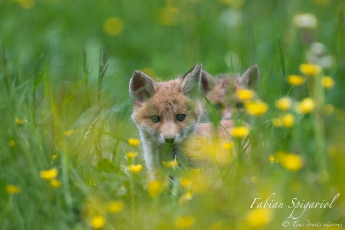 Renardeaux en approche - C'est à pas feutrés que ces deux jeunes renardeaux explorent les environs du terrier familial.