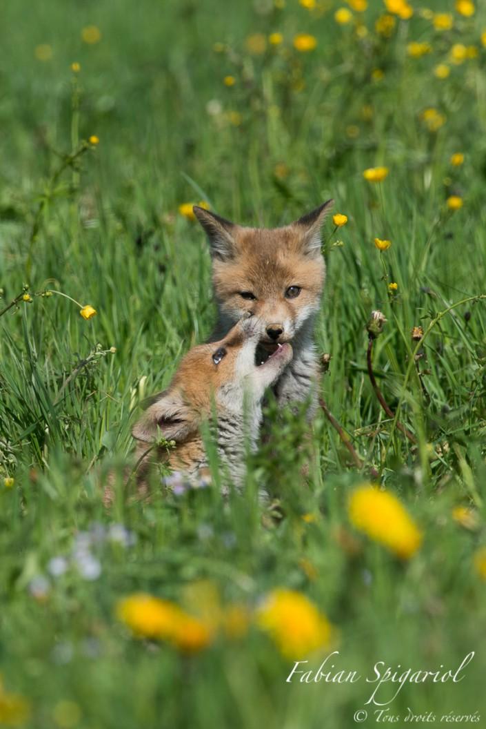Mordillage affectueux - Moment de tendresse entre deux renardeaux observés dans un champ des environs du Val-de-Travers.