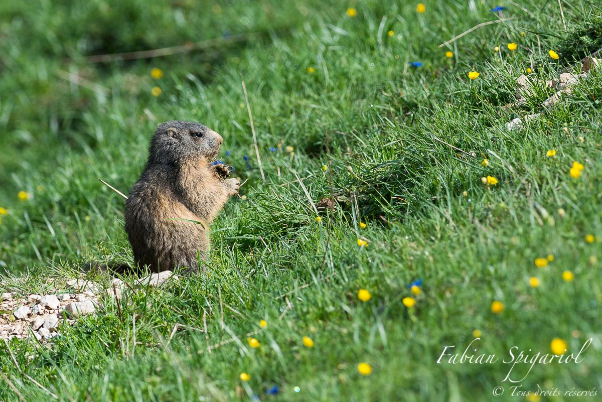 Repas du matin - Petit-déjeuner à l'entrée du terrier pour cette jeune marmotte des crêtes du jura neuchâtelois.