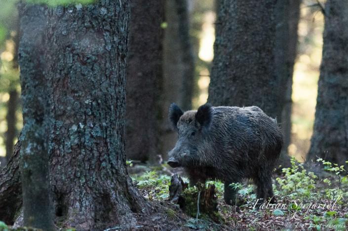 Sanglier en sous-bois - Face-à-face mémorable et éphémère avec un magnifique sanglier rencontré au petit matin dans une forêt à cheval entre le Val-de-Travers et la réserve du Creux du Van.