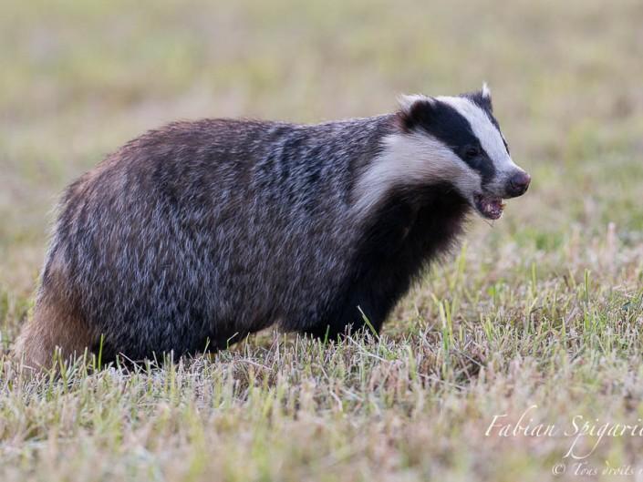Ver croquant  sous la dent - Maître blaireau se délecte d'un ver de terre trouvé dans un champ fraichement fauché des hauteurs du Val-de-Travers.