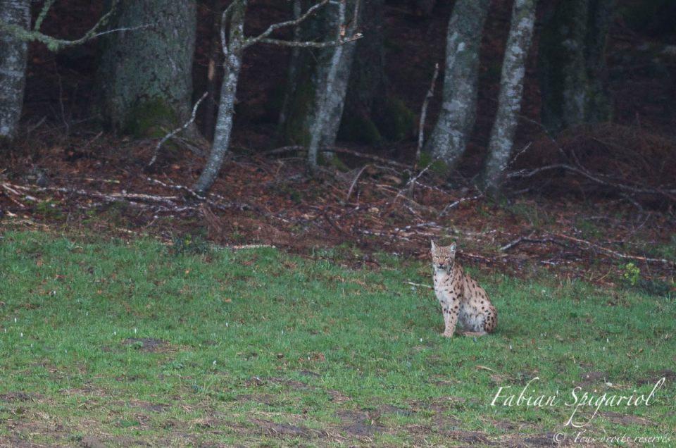 Lorsque le lynx sort de la forêt et s'assied face à vous, un rêve d'enfant devient réalité...