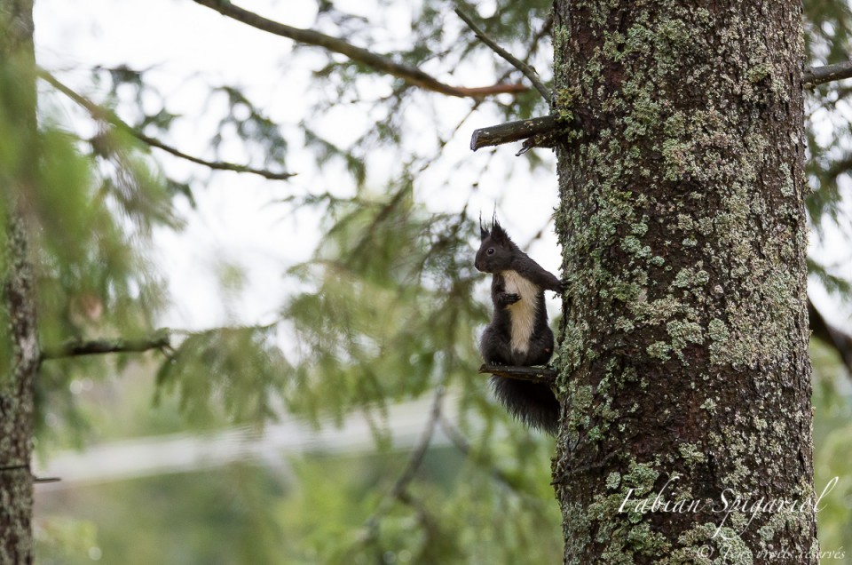 L'acrobate des arbres