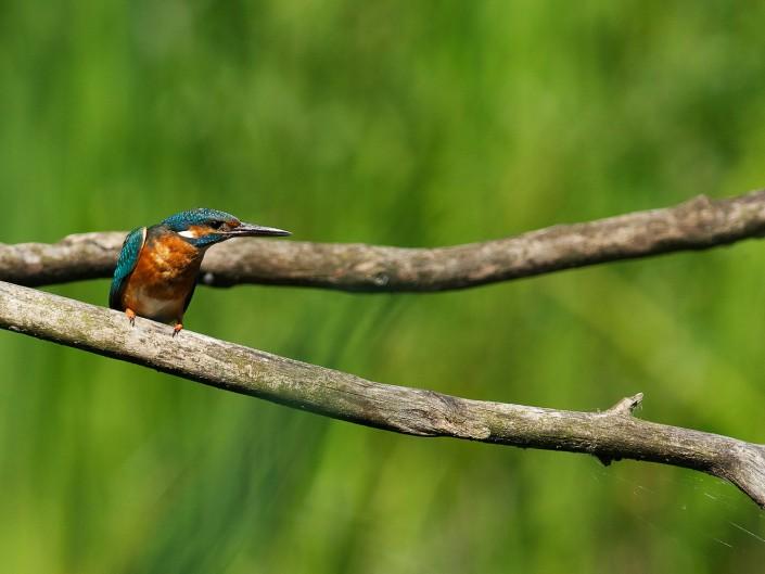 Martin-pêcheur