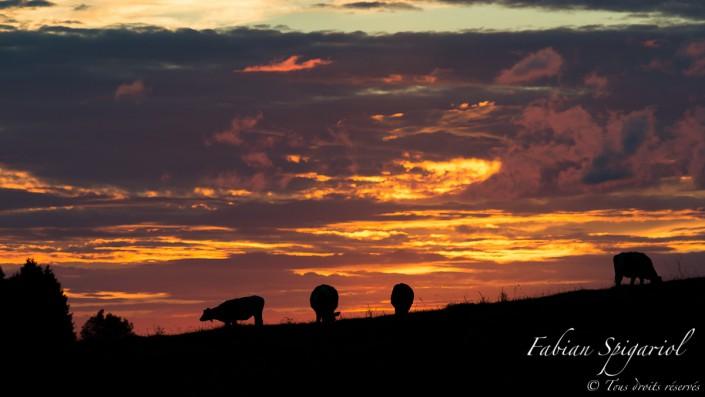 Un ciel enflammé qui laisse de marbre le troupeau de vaches du Mont-de-Boveresse (Val-de-Travers).