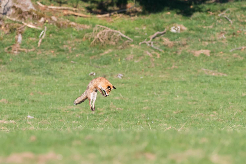 Le renard se regroupe puis bondit droit comme un I avant de plonger sur le campagnol.