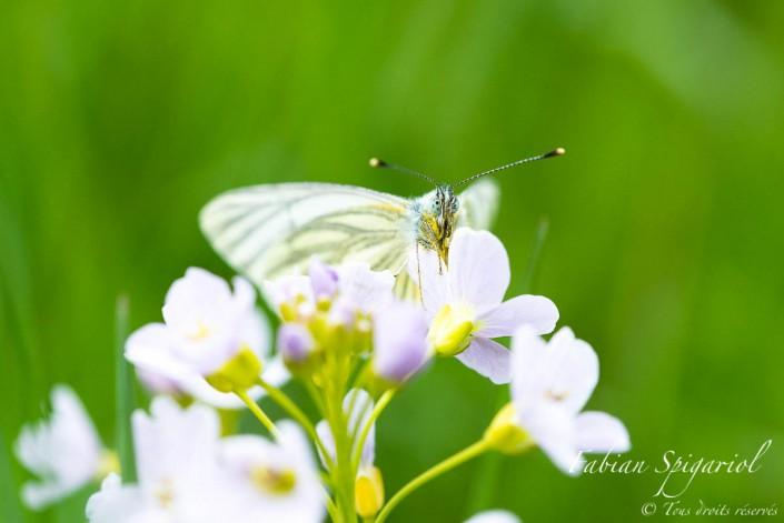 Le pierride du navet papillonne quelques instants avant de repartir survoler la praire fleurie du Val-de-Travers.