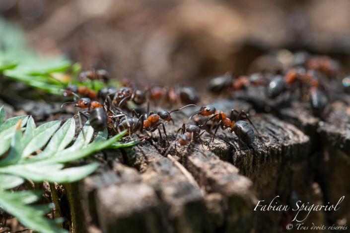 Un travail de fourmis - A proximité de la rouge, les fourmis rouges d'activent et s'affairent sur une souche sèche.