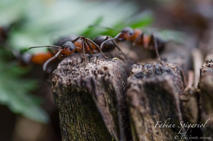 Fourmis grimpeuses - Une plongée dans le microcosmos des fourmis rouges observées dans un sous-bois des environs du Val-de-Travers (Jura Suisse).
