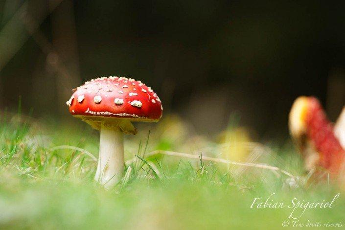 Amanite tue-mouche - Son chapeau rouge à pois blancs en font un champignons à la fois dangereux et terriblement photogénique.