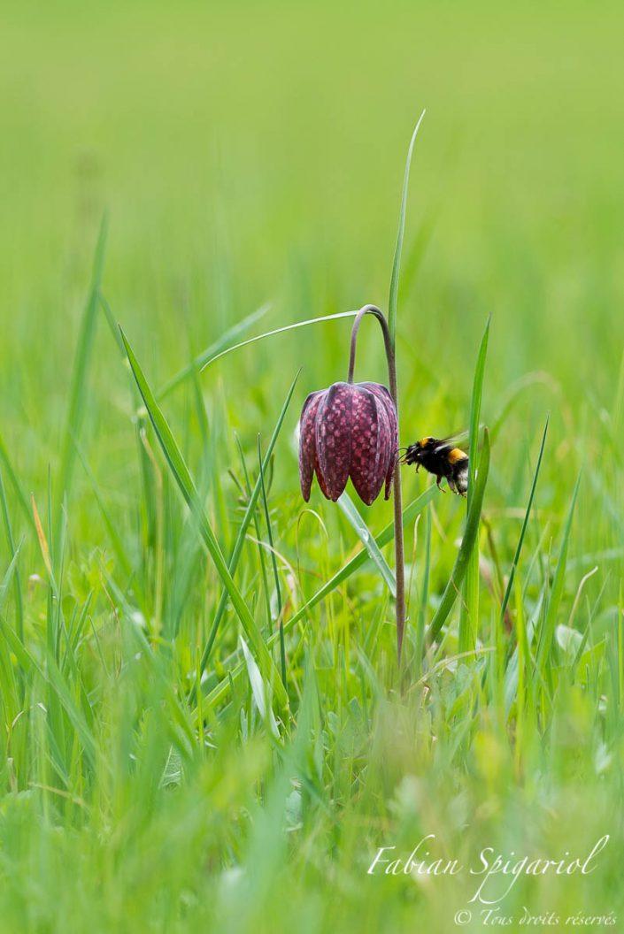 Instant magique lorsque le bourdon approche l'élégante fritillaire pintade pour butiner son précieux pollen.