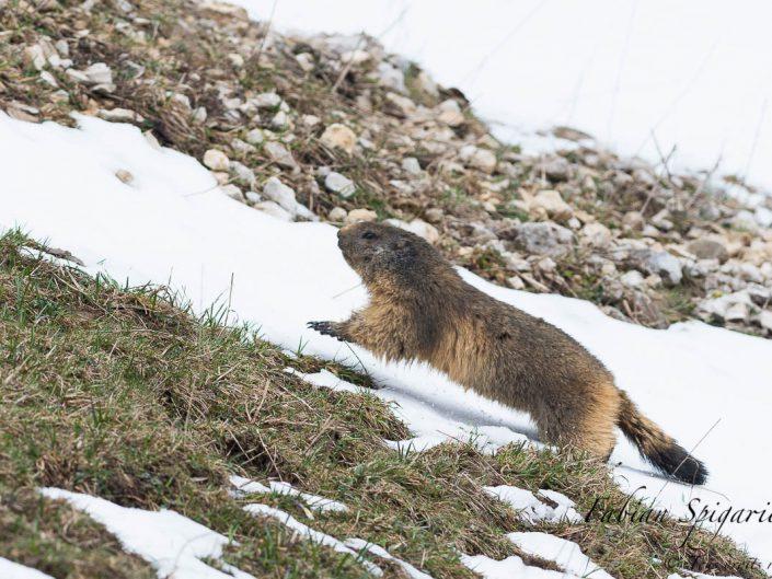 Lorsque la neige est encore présente au réveil sur les crêtes du Jura neuchâtelois, la marmotte se hâte pour ne pas se geler les pattes.