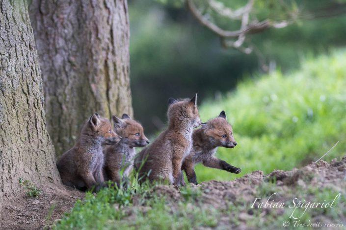 4 renardeaux s'aventurant dans les environs du terrier familial des hauteurs du val de travers