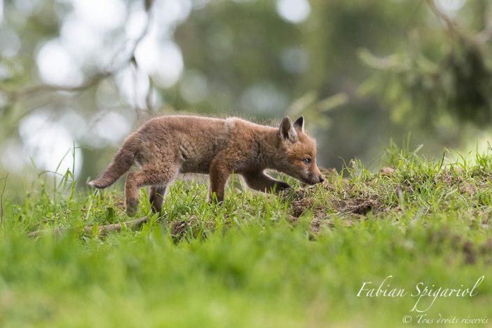 Jeune renardeau qui part en chasse comme un grand