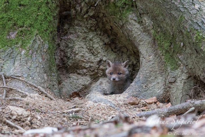 renardeau sortant de son terrier caché au pied d'un arbre du val de travers.