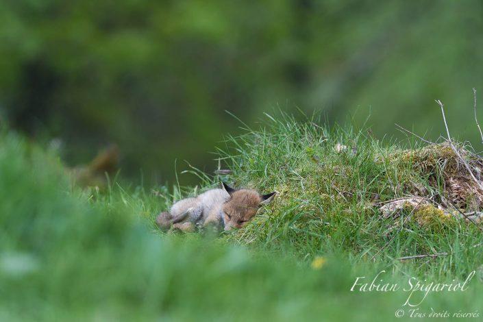 petit renard qui dort au pied d'une souche à proximité de son terrier du val-de-travers.
