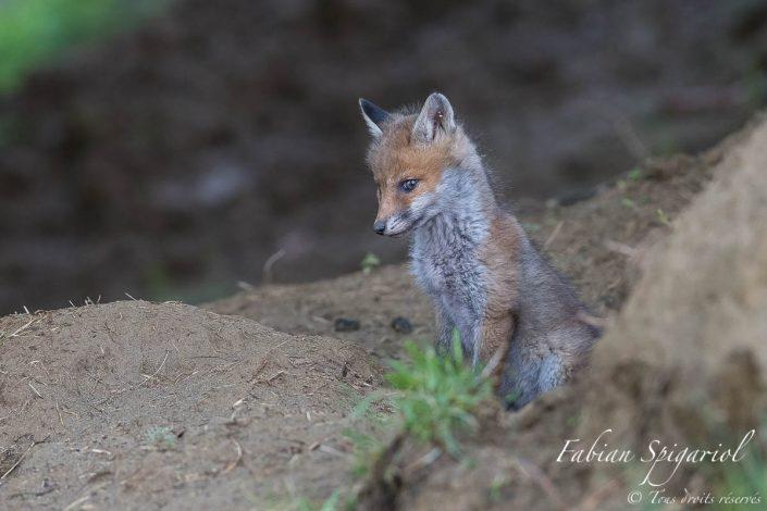 jeune renarde qui offre un regard doux au photographe près de son terrier du Val-de-Travers