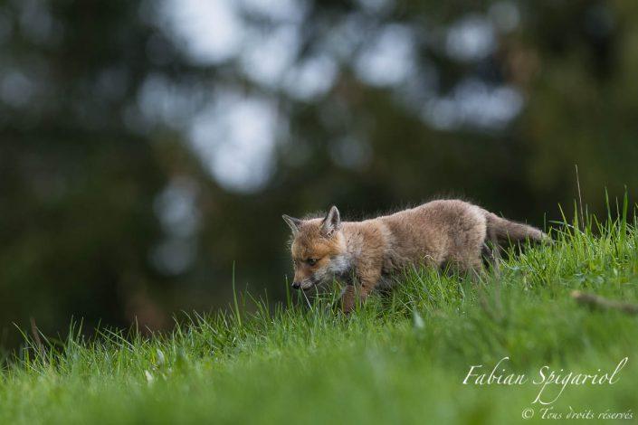 Jeune chasseur de l'ombre - C'est le pas décidé que ce jeune renardeau retourne au terrier.