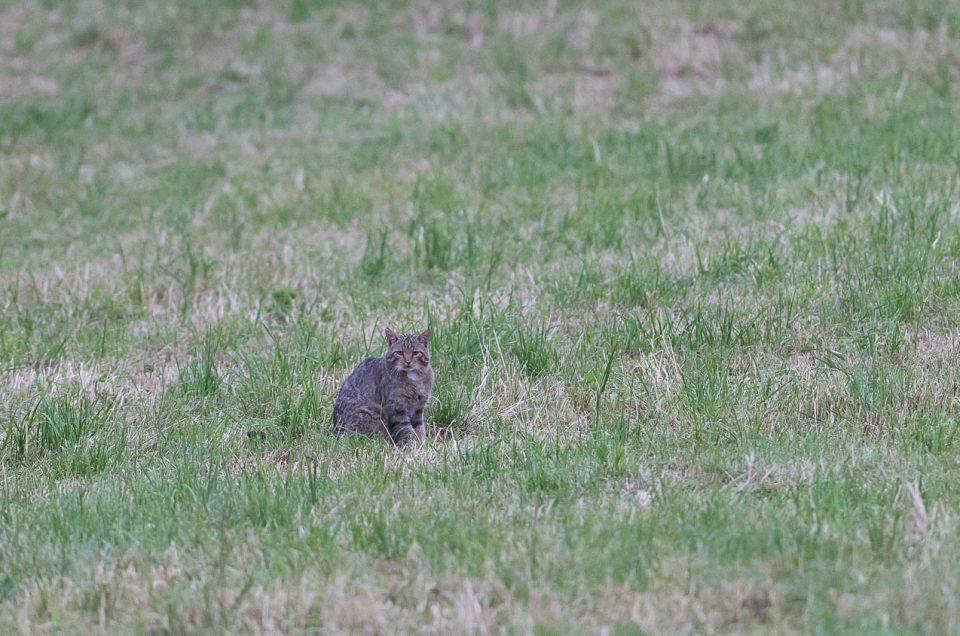 Chat sauvage - Un moment privilégié les yeux dans les yeux avec un chat forestier