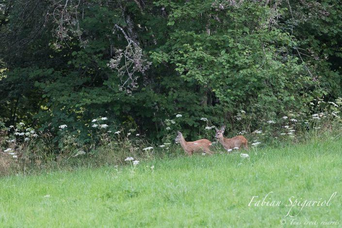 Rassurés par la présence de leur mère dans le champ, les deux jeunes chevreuils sortent prudemment de la forêt.