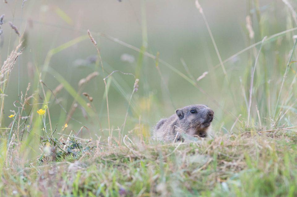 Ventre à terre, ce jeune marmotton tente une approche discrète pour venir observer le photographe de plus près...