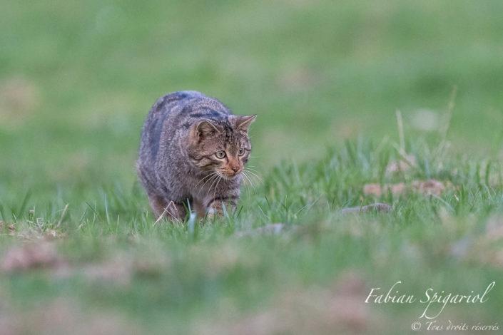 Chasseur en action - Le chat forestier est concentré sur sa proie, un campagnol que l'on distingue sur la droite de l'image. Dans quelques instants, il bondira pour lui asséner le coup de grâce.