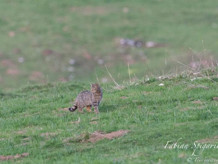 Chasseur en quête d'une proie - Attentif au moindre bruit suspect, le chat forestier parcoure méticuleusement le pâturage boisé à la recherche d'une campagnol imprudent.