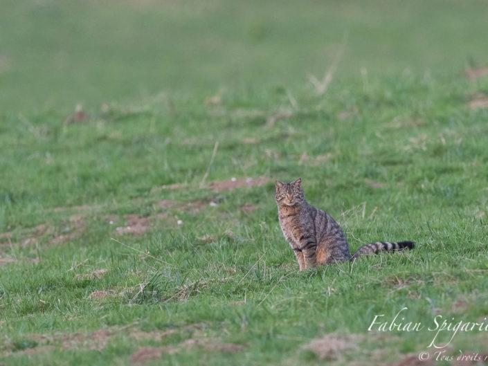 Chat forestier au crépuscule - Sorti comme un fantôme de la forêt, le chat forestier (ou chat sauvage) est apparu comme par enchantement dans un paturâge boisé surplombant le Val-de-Travers (Jura Suisse).