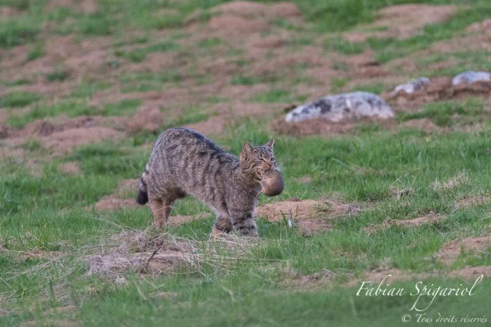 La chasse a été bonne pour le chat forestier qui a débusqué un campagnol bien gras pour son repas. Simplement étourdi par l'attaque du chat, le campagnol se débat comme un beau diable pour tenter en vain de se défaire des crocs du félin.