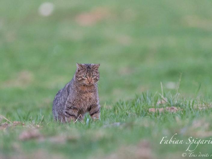 Chat forestier en chasse (gros plan) - Concentré sur le campagnol tapis dans l'herbe, le chat forestier s'apprête à le capturer avec ses griffes acérées.
