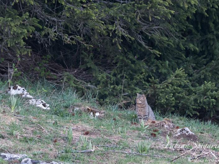 Surpris en lisière de forêt, ce chat forestier restera ainsi quelques longues minutes avant de retourner dans l'épais couvert boisé quelque part sur les crêtes du Val-de-Travers (Jura Suisse).