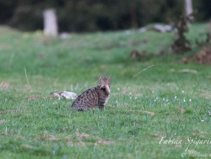 Le chat forestier tenant fermement sa proie immortalisé sur fond de pâturage boisé parsemé de crocus, une belle image printanière typique des crêtes du Jura neuchâtelois.