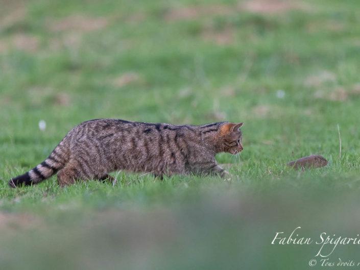 Chat forestier sachant chasser - Le chat forestier poursuit un campagnol dans un pâturage boisé des crêtes du Val-de-Travers (Jura Suisse) et n'en fera bientôt qu'une bouchée...