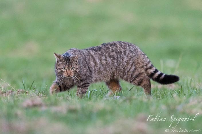 Chat sauvage - Une approche féline et gracieuse pour ce chat forestier observé en pleine partie de chasse au campagnol sur les crêtes du Val-de-Travers.