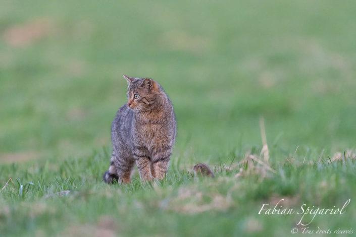 David contre Goliath - Le chat forestier sait qu'il a gagné la partie. Eloigné de sa galerie et désorienté par les coups de pattes répétés du petit félin, le campagnol tente encore de lutter au mieux pour défendre sa vie.