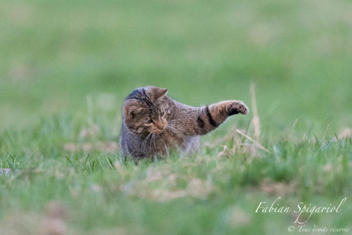 Fini de jouer, il est temps de manger. Après avoir capturé puis joué avec un campagnol dans un paturage boisé du Val-de-Travers, le chat lui assène le coup de grâce avant d'en faire son repas.