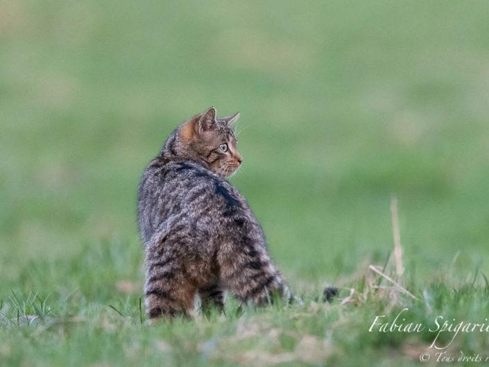 Le petit fauve du Jura - Observer le chat forestier sur les crêtes du Val-de-Travers à quelques mètres seulement, et sans être vu, constitue un cadeau inespéré offert par Dame nature...