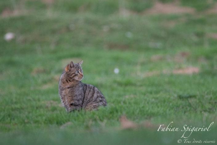 Croiser le regard félin du petit tigre des bois sur les crêtes du Jura neuchâtelois est un beau cadeau rarement offert par Dame Nature. Le chat forestier est habituellement discret et ses sorties à découvert sont rares.