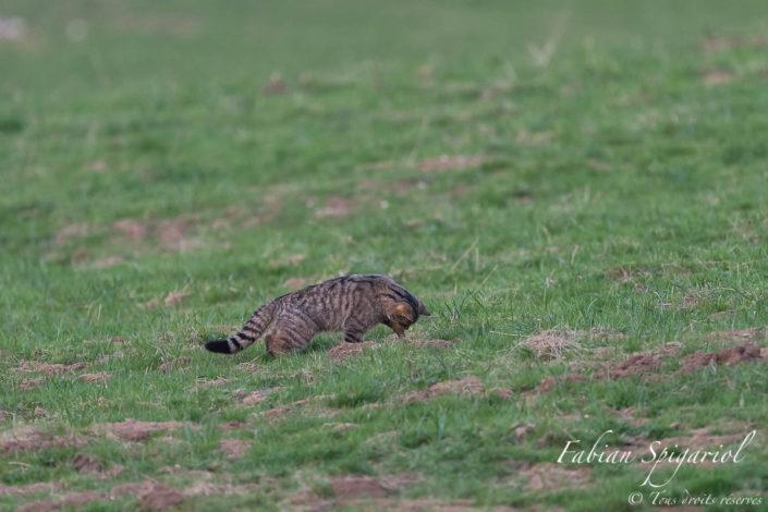 Plus rapide que l'éclair, le chat forestier plonge sa patte dans la galerie de campagnol pour en débusquer son propriétaire.